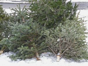 Disposed Christmas trees