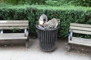 Raccoons scrounging in trash